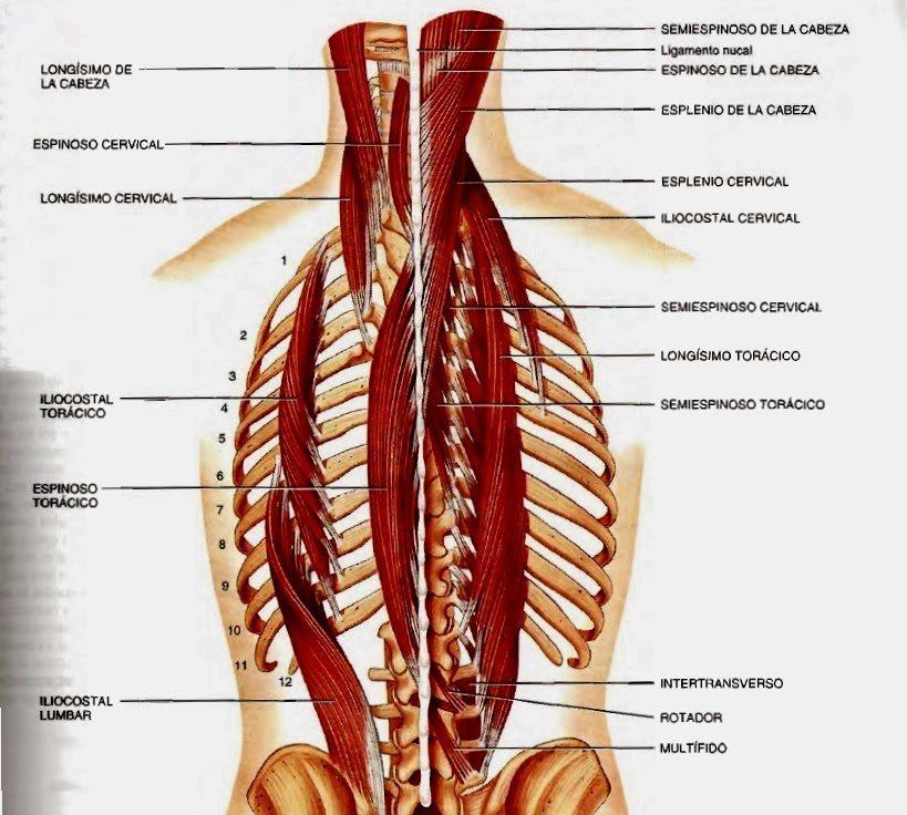 Erectores espinales