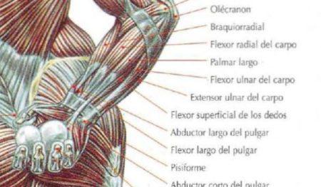 flexores