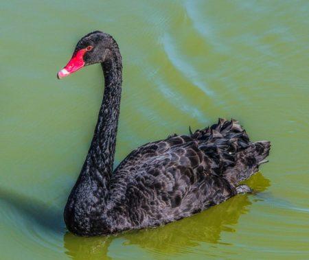 Cisne negro.