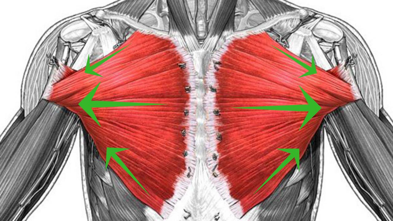 Direccion fibras musculares pectoral