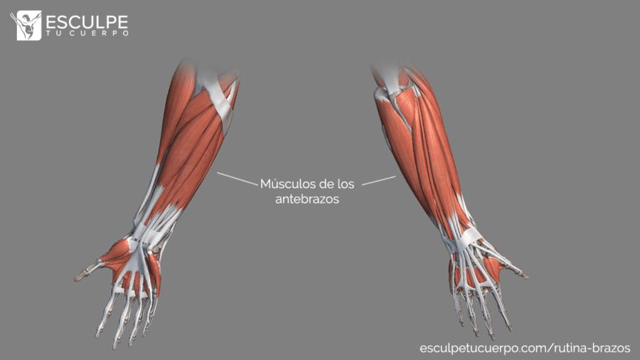 anatomia antebrazos