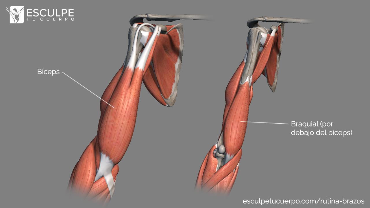 anatomia braquial