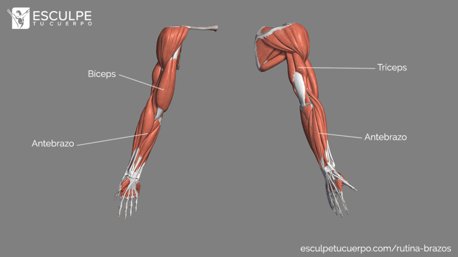 anatomia de los brazos