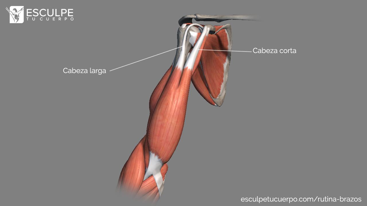 anatomia del biceps