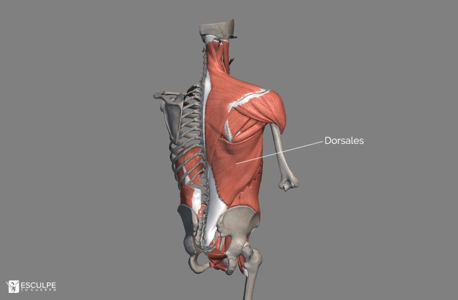dorsales espalda