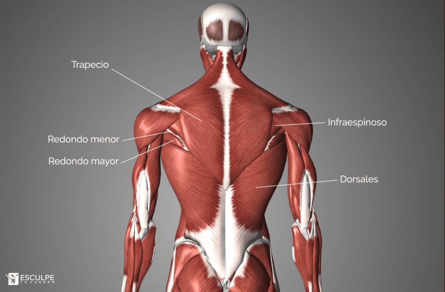 espalda anatomia