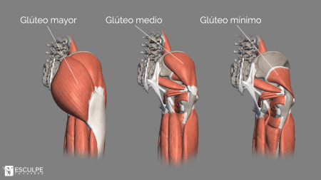 anatomia-gluteos