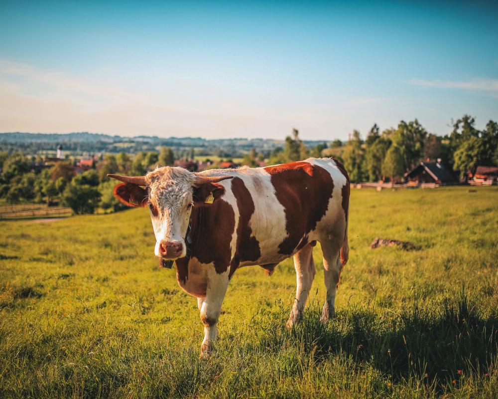 Vaca Sagrada: Por Qué Comer Carne Es Sano y Puede Salvar Al Planeta